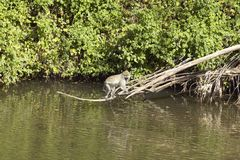 Monkey above water in Nairobi National Park, Nairobi, Kenya, Africa Stock Photo