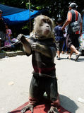 Monkey acrobatics Royalty Free Stock Image