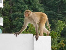 Monkey in Action Stock Photography
