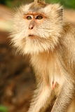 Monkey. Adult monkey close up shot in Thailand Stock Image