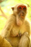 Monkey. Adult monkey sits in a tree in Thailand Royalty Free Stock Photos