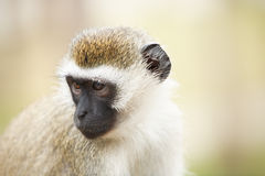 Monkey in Africa Stock Images