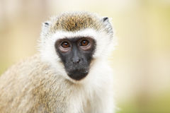 Monkey in Africa Royalty Free Stock Photo