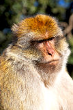 Monkey in africa morocco and natural background fauna close up. Old monkey in africa morocco and natural background fauna close up Royalty Free Stock Photo