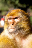 Monkey in africa morocco and natural background fauna close up Stock Images