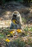 Monkey in Africa wildlife eat banana. Wild monkey in Africa nature wildlife. African wildlife primate animal monkey eat banana royalty free stock photos