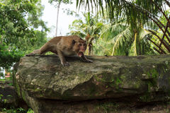 Monkey in aggressive pose on a stone Royalty Free Stock Images