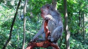 Monkey a agitação e o risco ao sentar-se no ramo de árvore video estoque