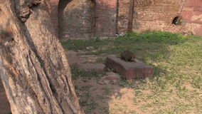Monkey in Agra park eating birds food, India Royalty Free Stock Images