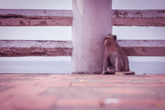 Monkey alone Royalty Free Stock Photography