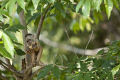 Monkey in Amazon Royalty Free Stock Photos