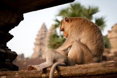 Monkey at Angkor in Cambodia Royalty Free Stock Image