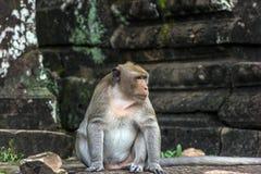 Angkor Wat monkey Royalty Free Stock Photo