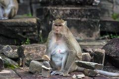 Angkor Wat monkey. Monkey at Angkor site, Cambodia Royalty Free Stock Photos