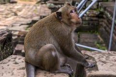 Angkor Wat monkey. Monkey at Angkor site, Cambodia Royalty Free Stock Photo