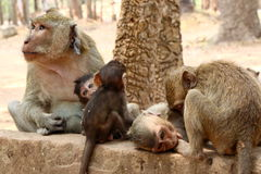 Monkey at Angkor site, Cambodia Royalty Free Stock Photography