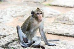 Angkor Wat monkey. Monkey at Angkor site, Cambodia Royalty Free Stock Image