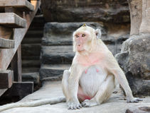 Monkey at Angkor Royalty Free Stock Images
