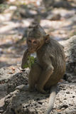 Monkey at Angkor Wat in Cambodia - Animal Royalty Free Stock Photos
