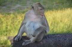 Monkey,Angkor Wat, Cambodia. Filmed in The Angkor Wat in Kampuchea Stock Photography