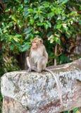 Monkey at Angkor Wat in Cambodia Royalty Free Stock Image