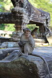 Monkey at Angkor Wat Royalty Free Stock Images