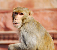 Monkey animal Royalty Free Stock Photography