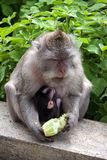 Monkey in the animal forest Royalty Free Stock Photo