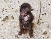 Monkey animal Looking at you baby monkey background Royalty Free Stock Photos