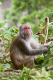 Monkey ape eating the seeds stock photos