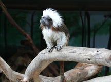 Monkey ape simian jocko copycat irakez mimic. Animals ape baboon barbary capuchin celebes colobus daytime douroucouli eating exotic fauna feeding field grass Stock Photography