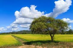 Monkey apple tree in rice farm Stock Image
