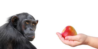 Monkey and apple royalty free stock photo