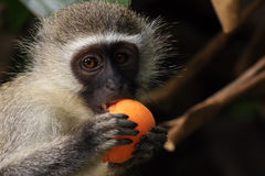MOnkey with apricot Royalty Free Stock Image