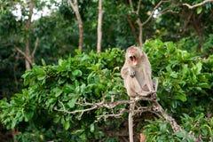 Monkey aspettare e lo sguardo dell'alimento rubato di probabilità in un'isola del mare delle Andamane, Tailandia Isola di Lipe Fotografia Stock Libera da Diritti