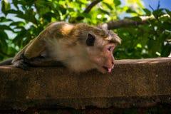 Monkey attaccano fuori la lingua in Sigiriya, Sri Lanka Fotografie Stock