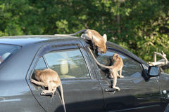 Monkey attack car Stock Photo