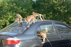 Monkey attack car Stock Photos