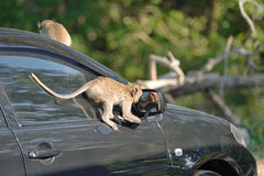 Monkey attack car Royalty Free Stock Photography