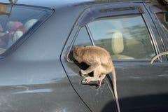 Monkey attack car Royalty Free Stock Image