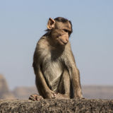 Monkey with attitude. Monkey sitting on edge of Lohagad fort Royalty Free Stock Photo