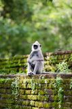 Monkey auf der alten Wand in einem tropischen Wald Lizenzfreie Stockbilder