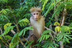Monkey avec la coiffure géniale se reposant sur l'arbre Photo libre de droits