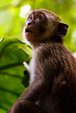 Monkey Awe. A Monkey Stares Above In An Awe Inspiring Expression Royalty Free Stock Photography