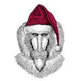 Monkey, baboon, dog-ape, ape Christmas illustration Wild animal wearing christmas santa claus hat Red winter hat Holiday. Christmas illustration Wild animal Royalty Free Stock Images