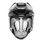 Monkey, baboon, dog-ape, ape Hockey image Wild animal wearing hockey helmet Sport animal Winter sport Hockey sport. Hockey image Wild animal wearing hockey Royalty Free Stock Photo