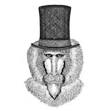 Monkey, baboon, dog-ape, ape wearing cylinder top hat. Vintage style drawing Animal wearing cylinder top hat Royalty Free Stock Photo