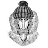 Monkey, baboon, dog-ape, ape wearing winter knitted hat. Wild animal wearing winter knitted hat Image for tattoo, badge, t-shirt Stock Image