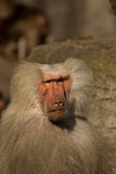 Monkey Baboon looking. On the camara royalty free stock photo