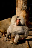 Monkey Baboon looking happy. And waiting stock photography